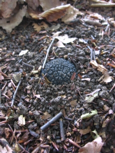 While truffles are usually found completely underground, occasionally they break the soil surface.